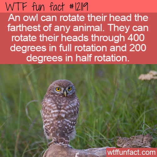 WTF Fun Fact - Owl Head Rotation
