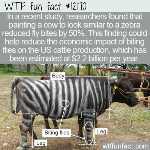 WTF Fun Fact - Paint Cows Like Zebras