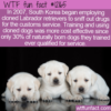 WTF Fun Fact – South Korean Cloned Drug Sniffing Dogs