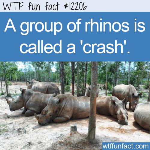 WTF Fun Fact - A Crash Of Rhinos